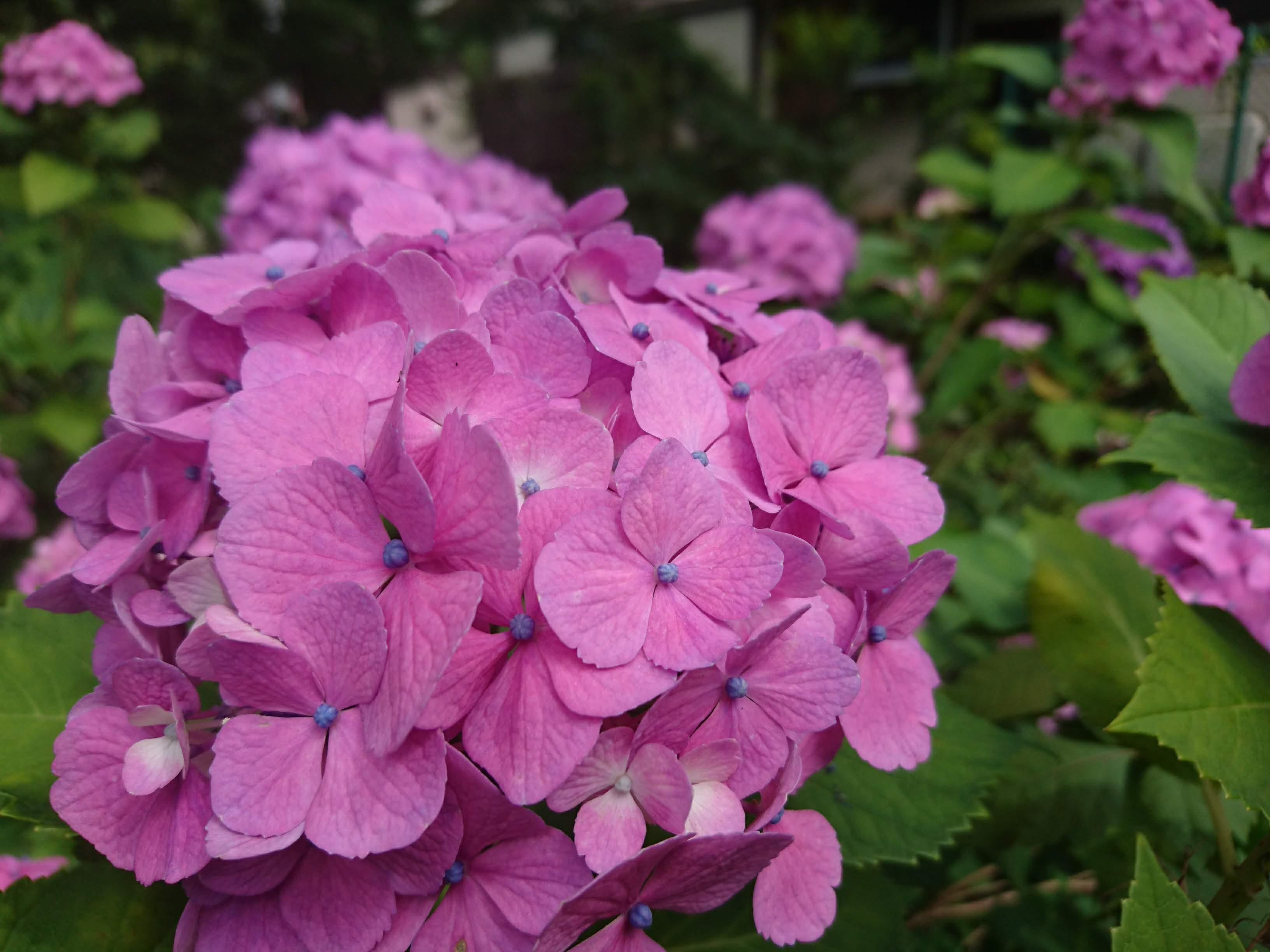 京王線「高尾山口」紫のあじさい