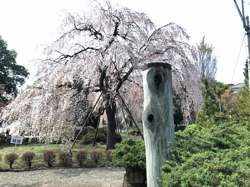 多磨霊園「東郷寺」通りから見える枝垂桜
