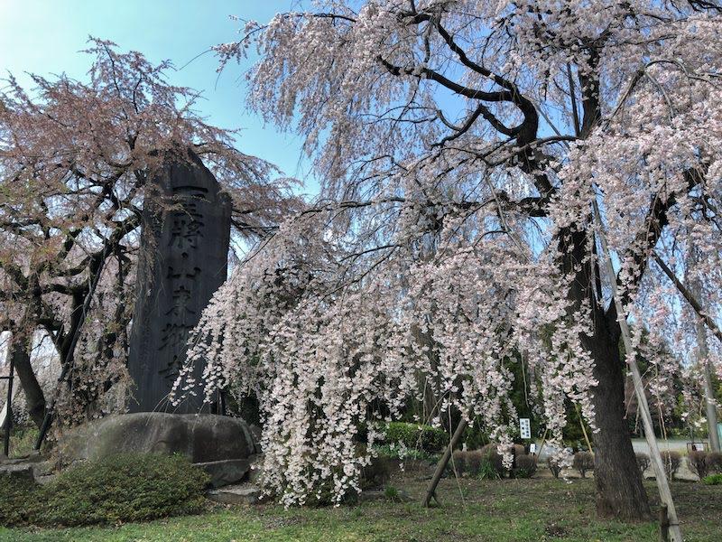 多磨霊園「東郷寺」地面すれすれまで垂れる大木の枝垂桜