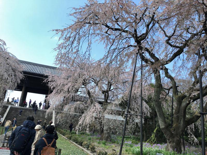 多磨霊園「東郷寺」枝垂桜と山門に続く石段