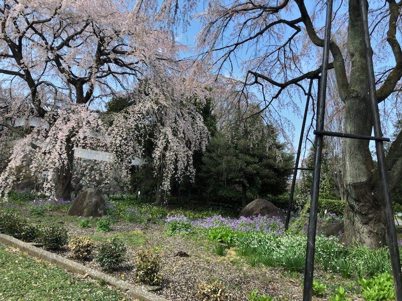 多磨霊園「東郷寺」枝垂桜の麓の花々