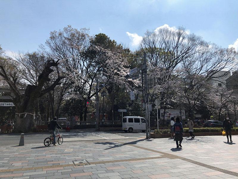 府中 けやき並木から見た「大國魂神社」桜の大木
