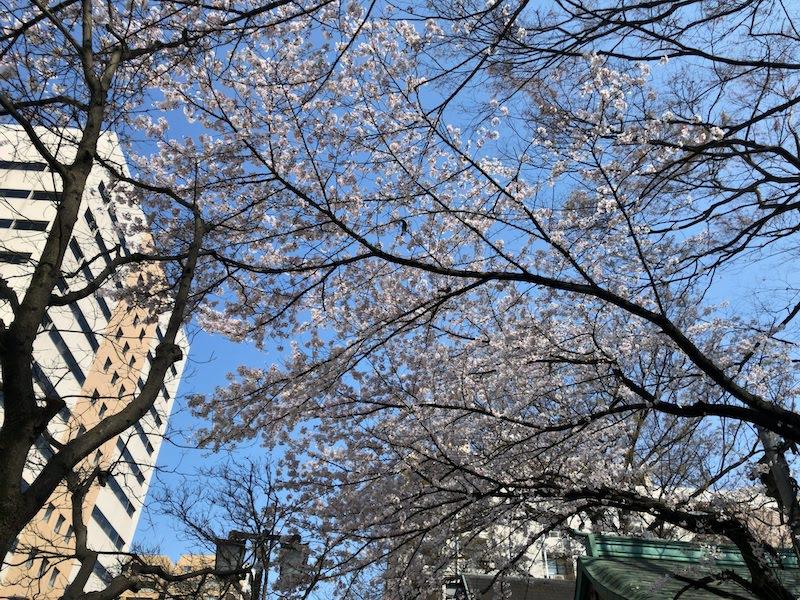 府中 「大國魂神社」桜の大木の真下から