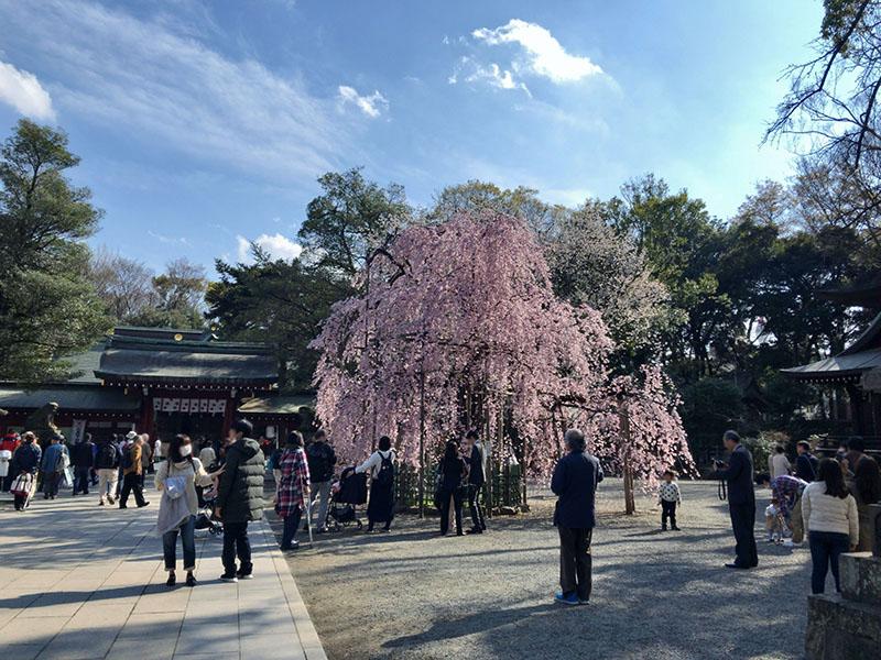 府中 「大國魂神社」明治百年記念樹 枝垂桜