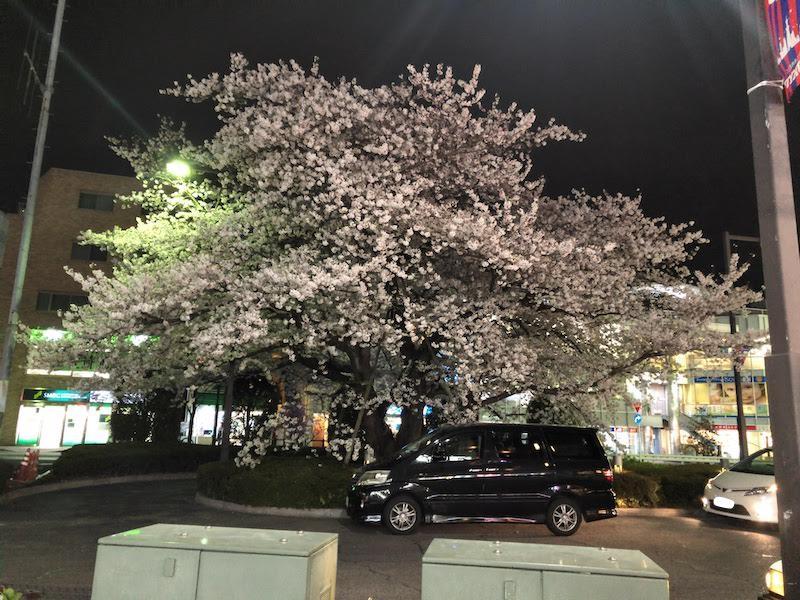 京王線 仙川駅前のソメイヨシノ