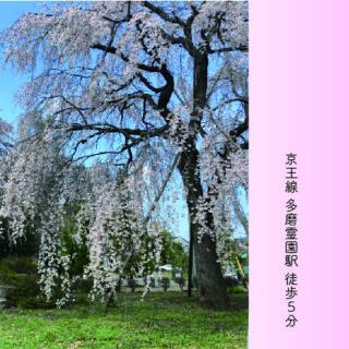 多磨霊園「東郷寺2019年枝垂桜」アイキャッチ-100