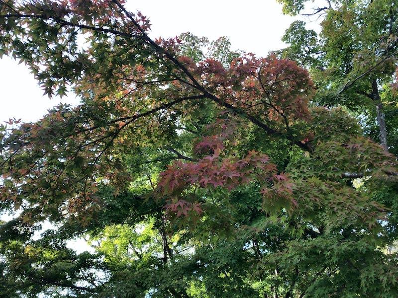 高尾山「1号路 登山」山頂の紅葉